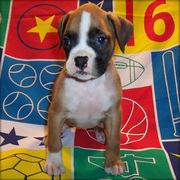 MALE AND FEMALE BOXERS NEED GOOD HOMES