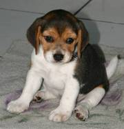 10weeks Beagle Puppy for lovely home